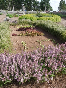 Roma's garden is full of heritage vegatables and herbs that were used medicinally.